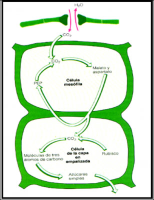 FOTOSINTESIS C4